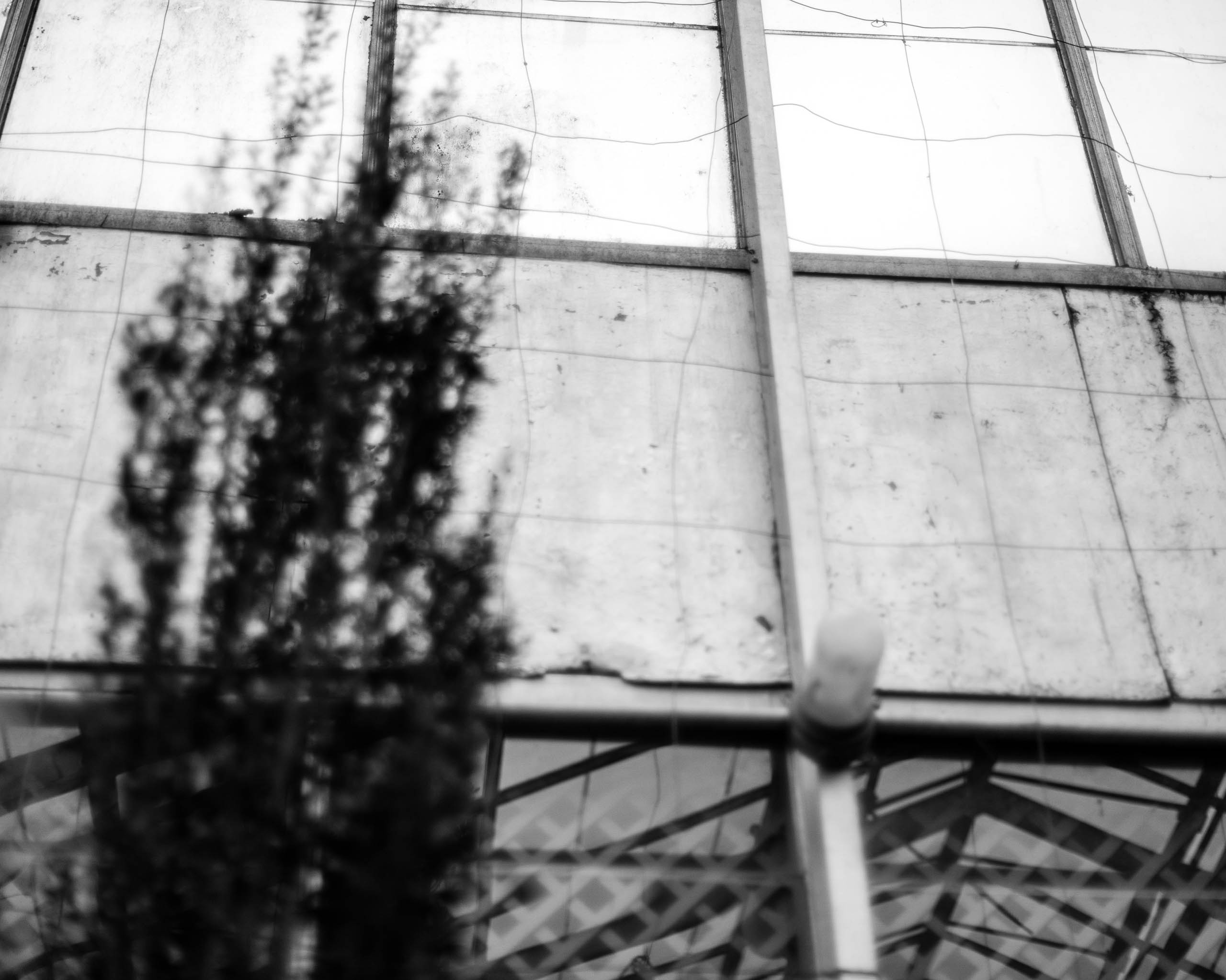 Wave_Hill_greenhouse_wall_with_fastigiate_tree_BW-8066
